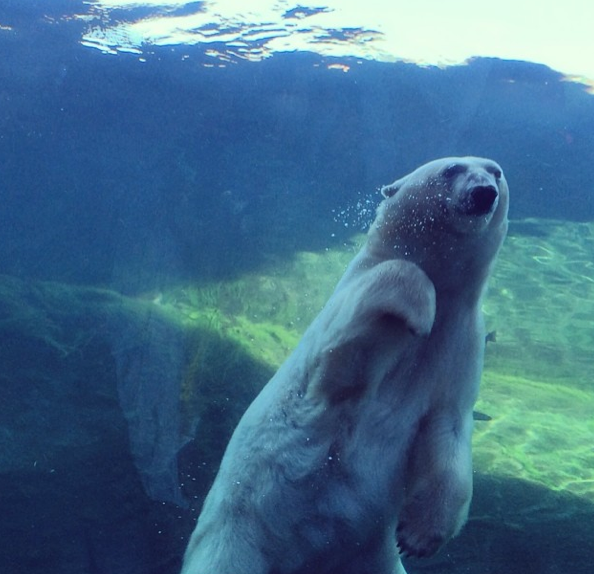 Polar Bear at the Columbus Zoo
