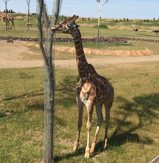 Giraffe at the Heart of Africa, Columbus Zoo